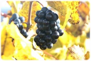 Le Barrois champenois viticole et la côte des Bar.